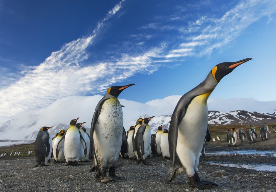 Just some of the many penguins that do not live in Iceland.