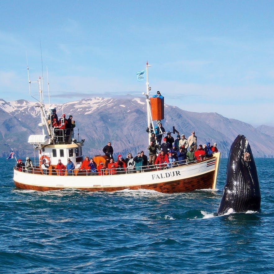 冰岛胡萨维克观鲸成功率极高