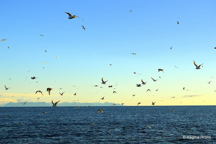 Birds following the boat to Grímsey