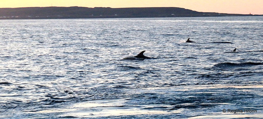 Dolphins following the boat by Grímsey island