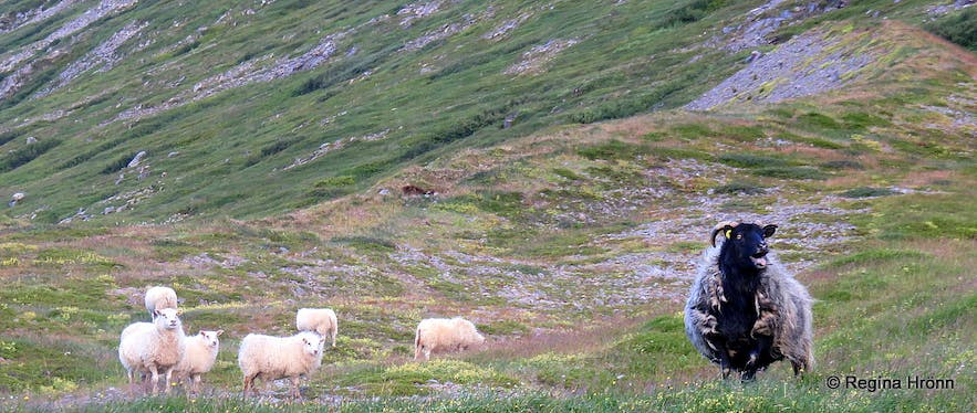 The leader sheep and its flock by Drangajökull glacier
