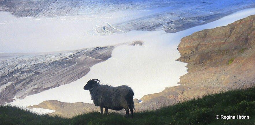 A leader sheep by Drangajökull glacier