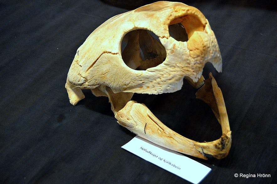 A skull of a sea turtle in Iceland