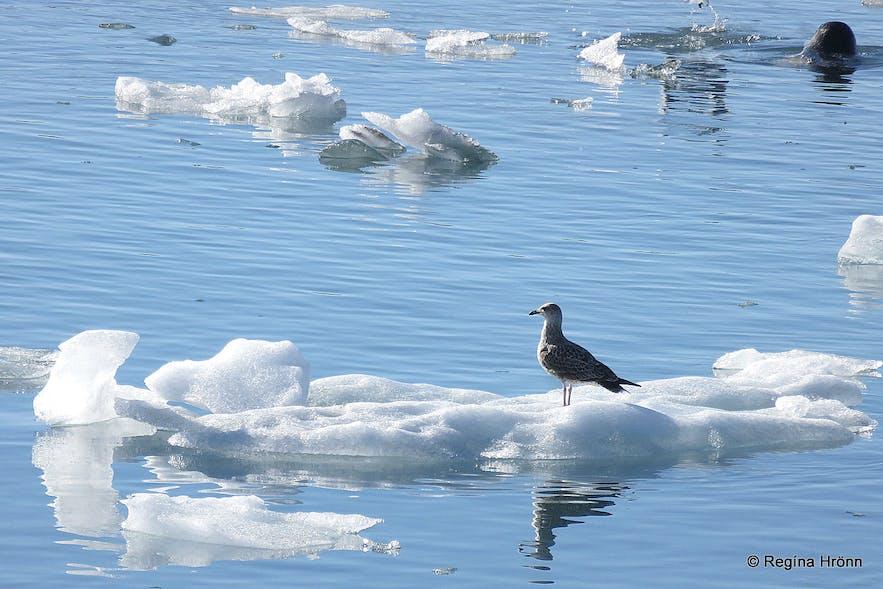 Jökulsárlón glacial lagoon South-Iceland