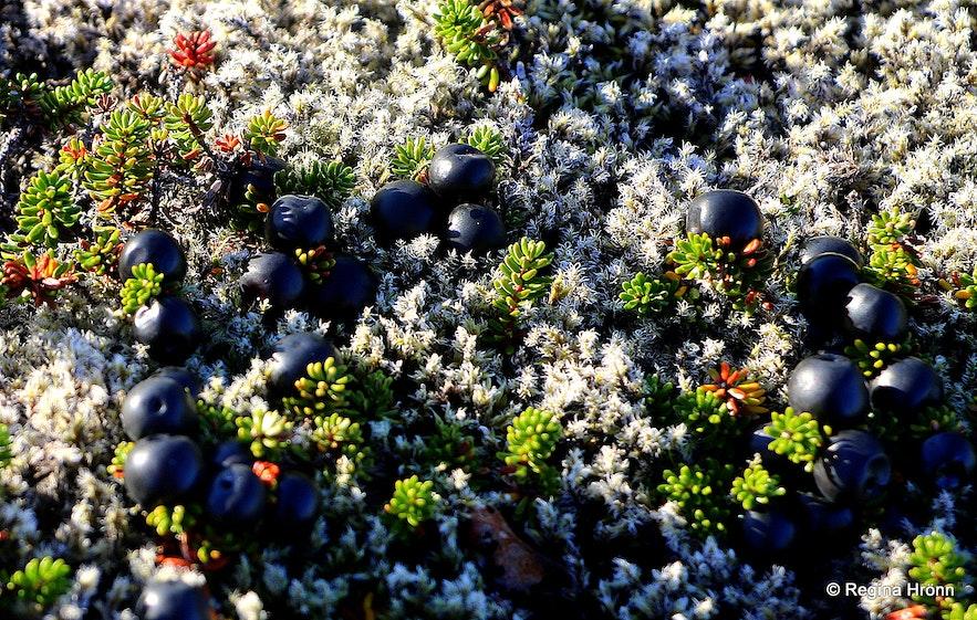 Berries in Iceland