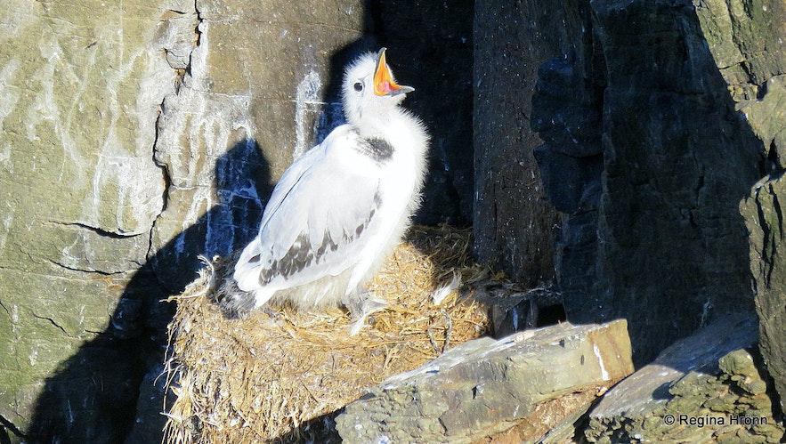 Kittiwake chick at Látrabjarg