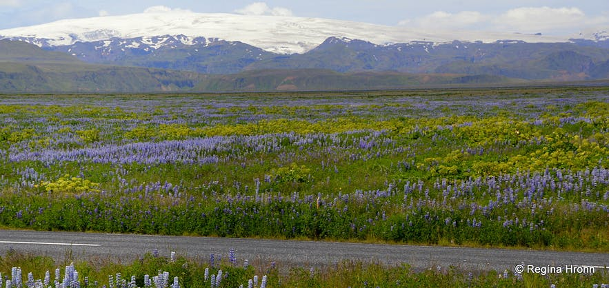 Lupines in South Iceland