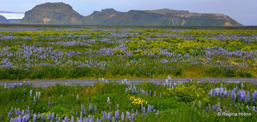 Lupine in Iceland