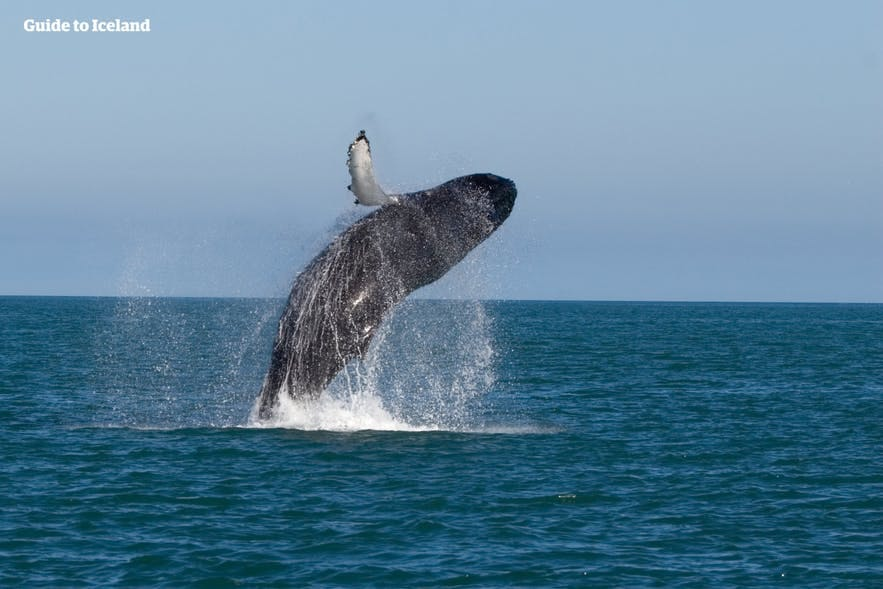 A whale breaches off of Husavik in Iceland.