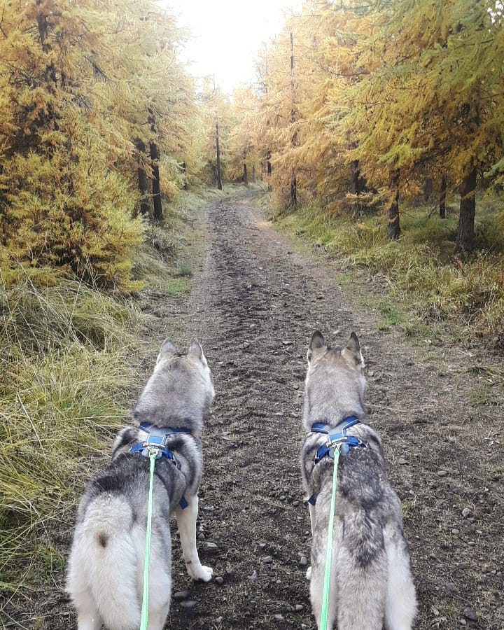 Guided 1 Hour Hike with Husky Dogs in North Iceland with Transfer from Akureyri