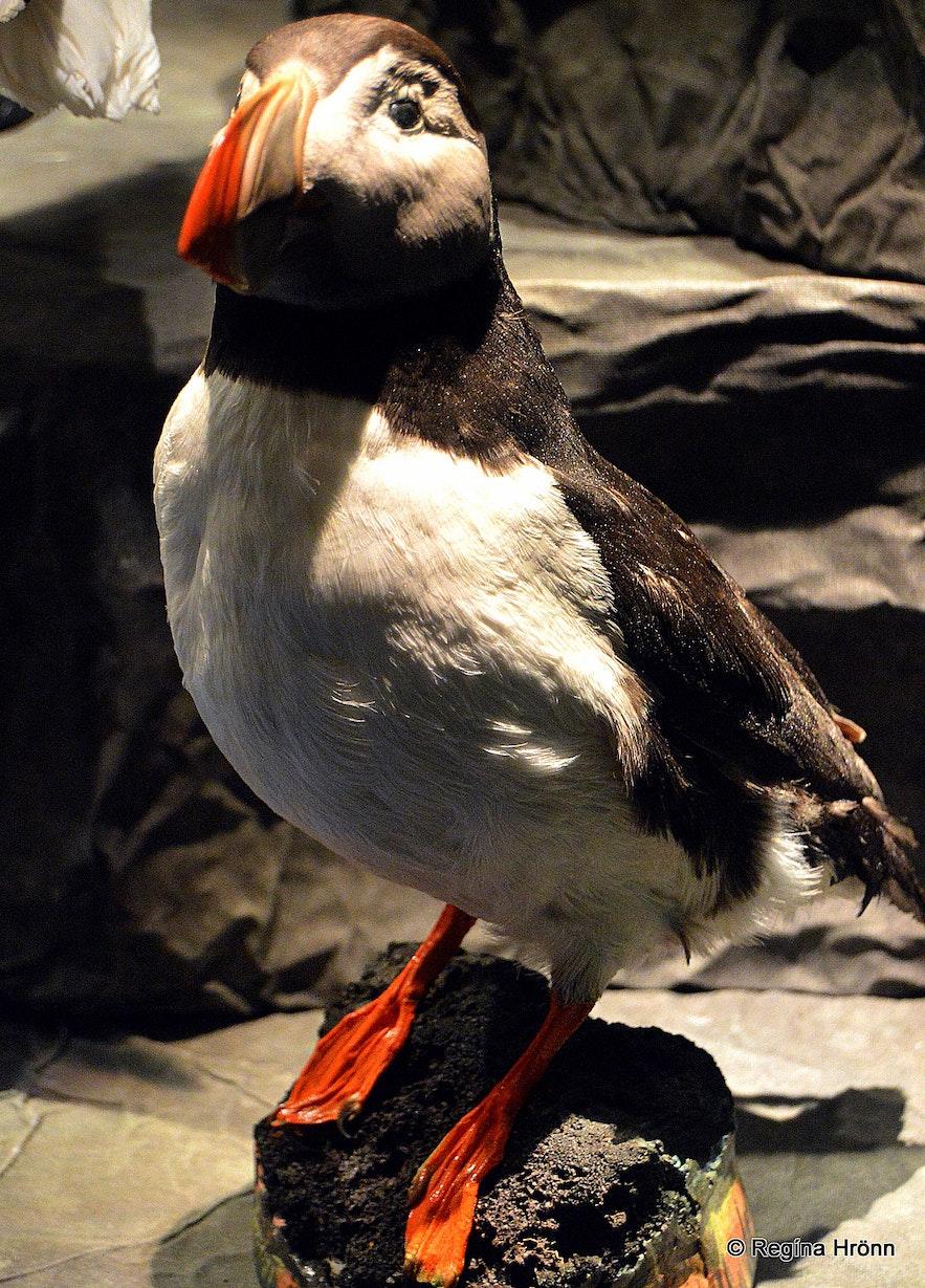 The Sigurgeir's Bird Museum at Mývatn - Breeding Birds in Iceland