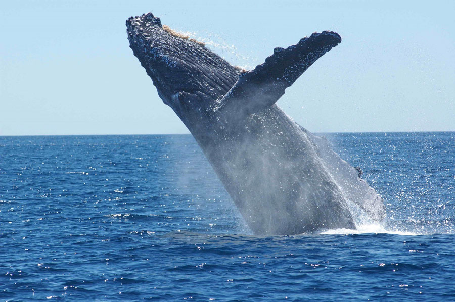 A humpback leaps in Faxafloi Bay.