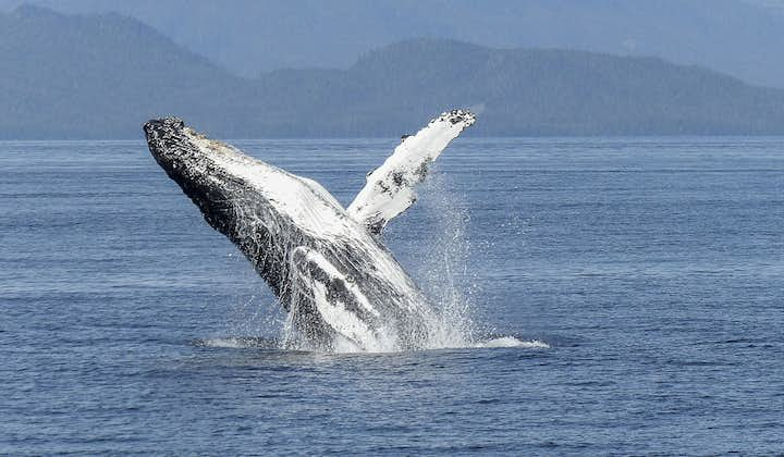 A humpback whale breaches off Reykjavik.