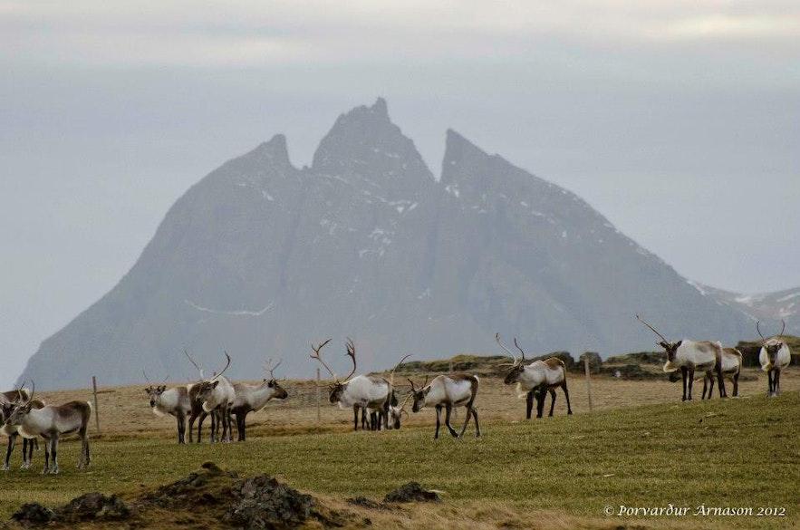 Северные олени в Исландии.