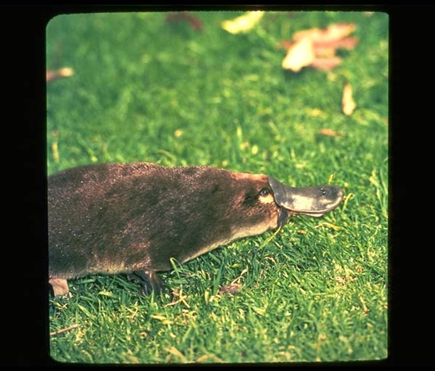 The Easter Platypus