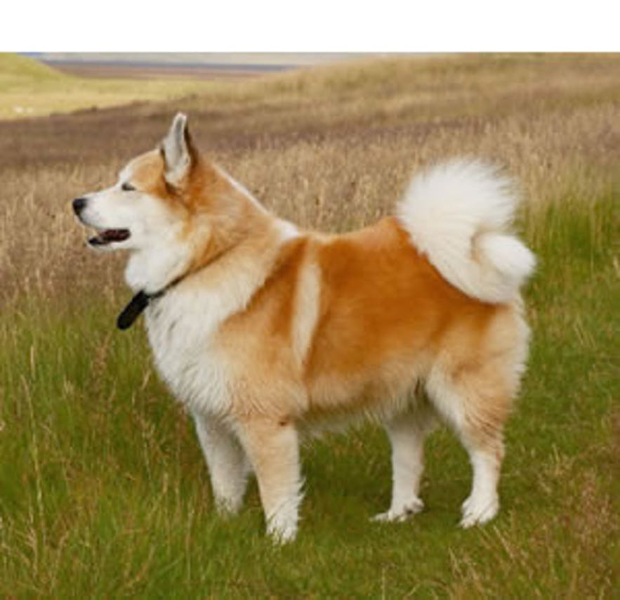 The Icelandic Dog (Dawg)